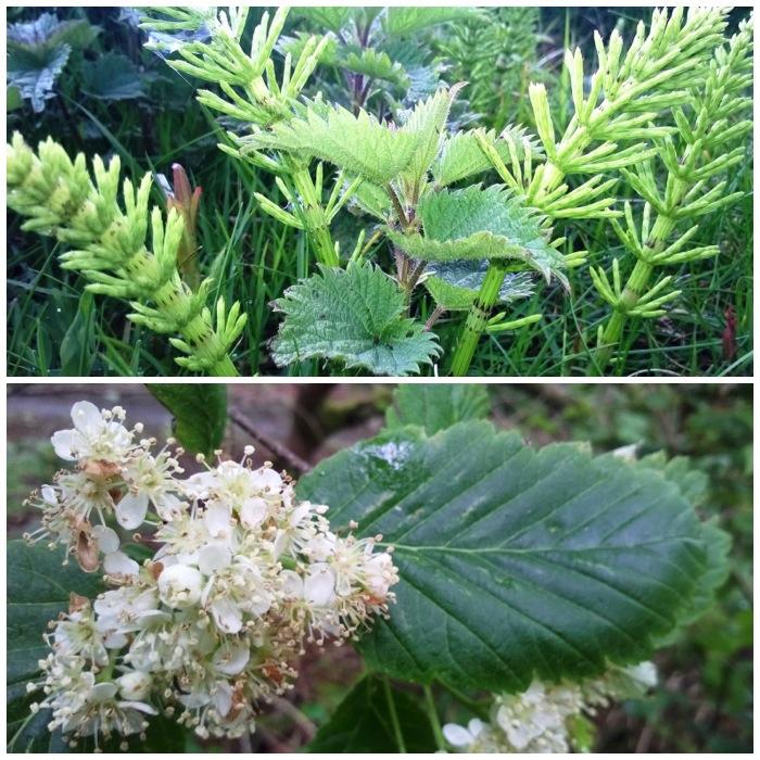 Horsetail, Nettle and Whitebeam