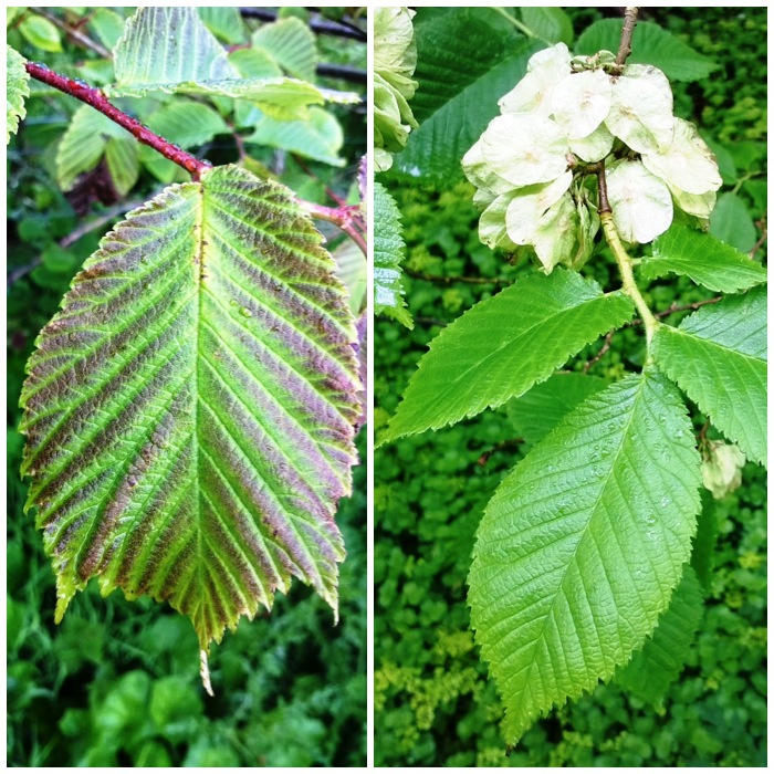 Wych Elm and Common Elm