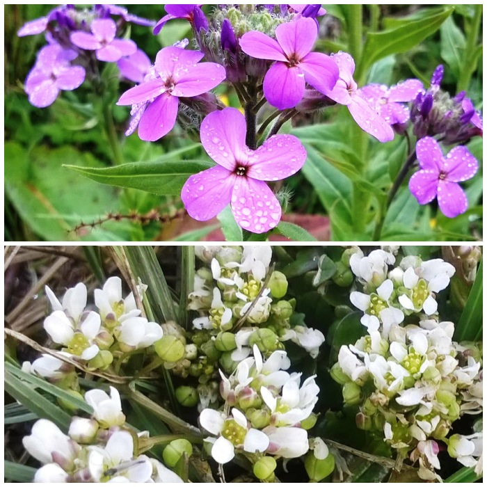 Dame's Rocket and Common Scurvy Grass