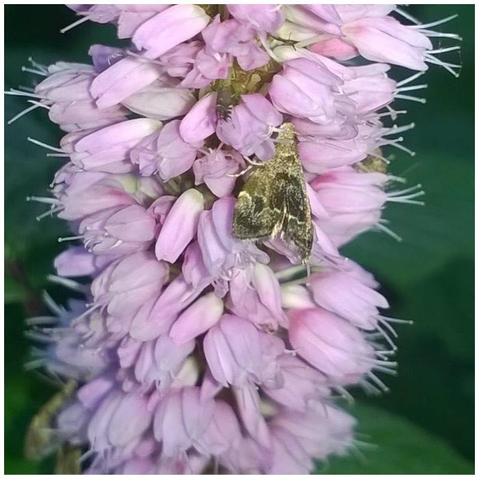 Bistort and Moth