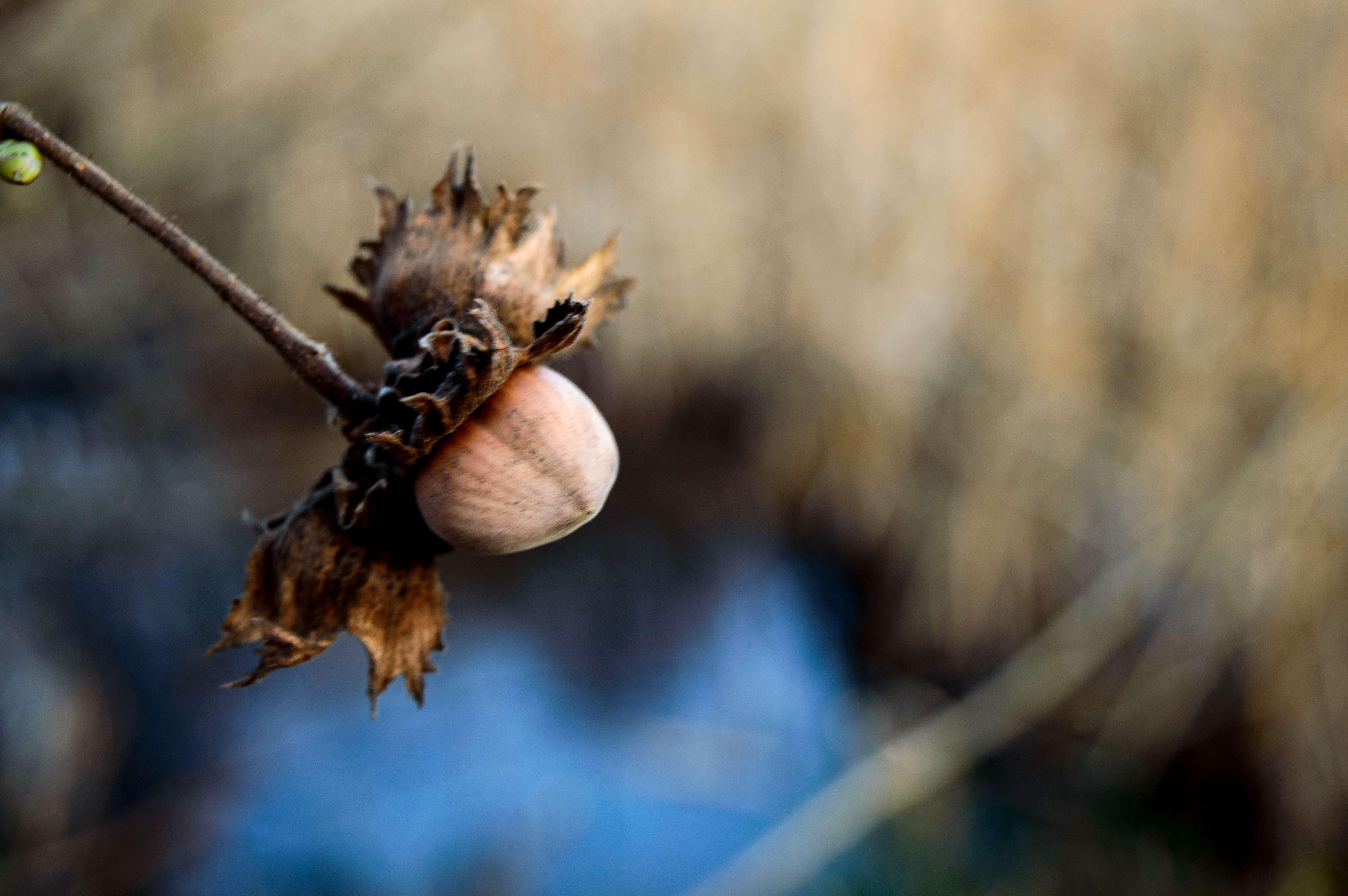 Forgotten Hazelnut
